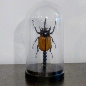 scarabee eupatorus gracillicornus sous cloche